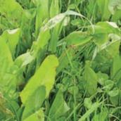 Chicory Mixtures