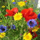 Wildflower Seed Mixtures 100%