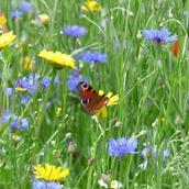 Wildflower Meadow Mixtures