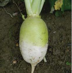 RONDO Stubble Turnip