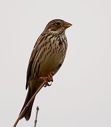 FS 1 Year Wild Bird Mix - Finch and Corn Bunting (AB9)