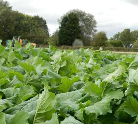UNICORN Hybrid Brassica