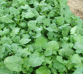 Ethiopian Mustard (Brassica carinata)