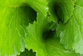 SKYFALL Hybrid Brassica