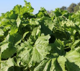 AVALON Leafy Turnip