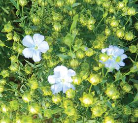 Linseed Seed (Linum usitatissimum)