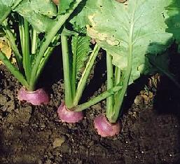 DYNAMO Stubble Turnip (Organic)