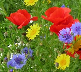 FS9: Cornfield Annuals Wildflower Mixture