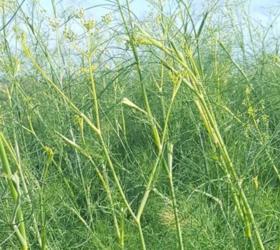 Green Fennel