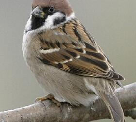 FS 1 Year Wild Bird Mix - Tree Sparrow (AB9)