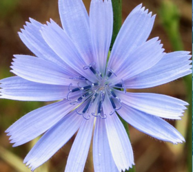 PUNA II Chicory