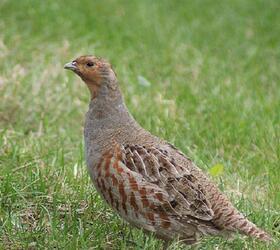 FS 1 or 2 Year Wild Bird Mix - Grey Partridge (AB9)