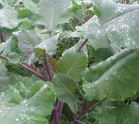 Carbon Kale/Mustard Hybrid