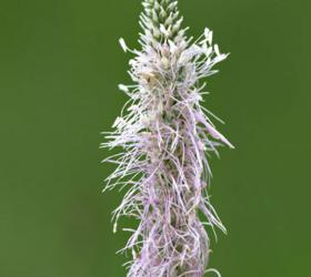 Ribwort Plantain Seed (Plantago lanceolata)