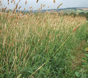 Canary Grass (Aquatica)