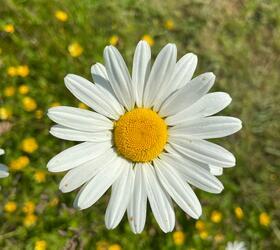Ox-eye Daisy Seed (Leucanthemum vulgare)