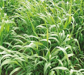 Reed Canary Grass (Arundinacea)