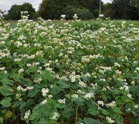 Organic Buckwheat Seed (Fagopyrum esculentum)