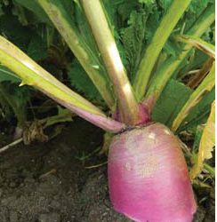 SAMSON Stubble Turnip