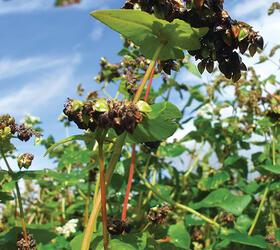 Buckwheat Seed (Fagopyrum esculentum)
