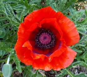 Common Poppy Seed (Papaver rhoeas)