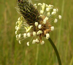 Ribwort Plantain Seed (Agricultural)